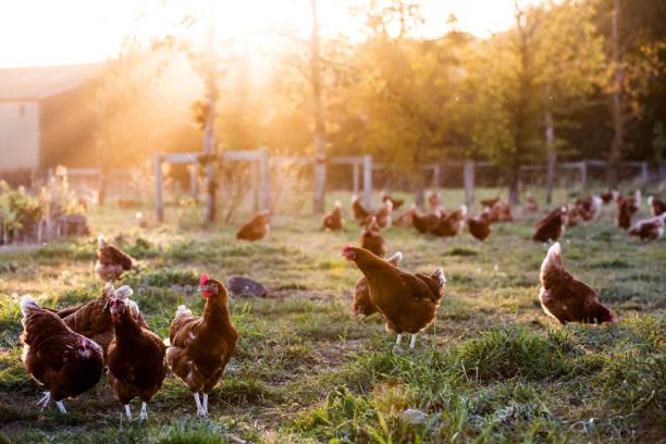 ayam berkokok melihat malaikat